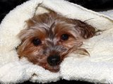 yorkie puppy in a towel