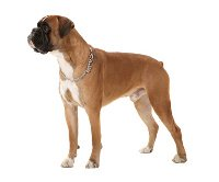 Boxer dog adult