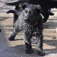 black german shepherd puppy Jasper