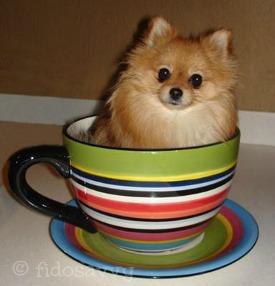 Teacup Pomeranian - literally