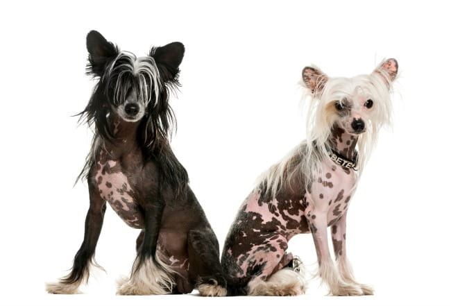 Two Chinese Crested dogs, one black and one white