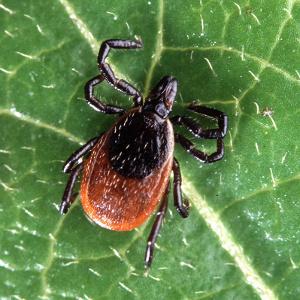 Adult Blacklegged Tick, aka 'Deer Tick'