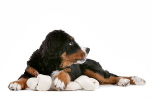 Bernese Mountain Dog puppy with rawhide bone