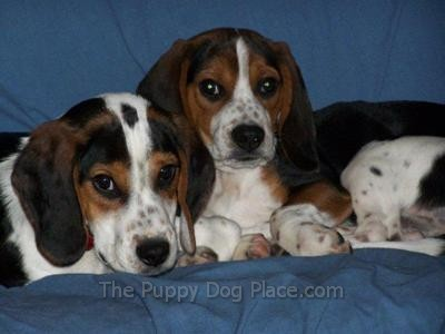 Beagle brotherly love