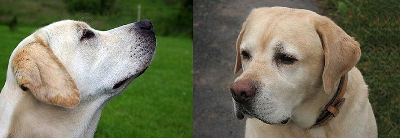 head type of American and English Labrador Retrievers