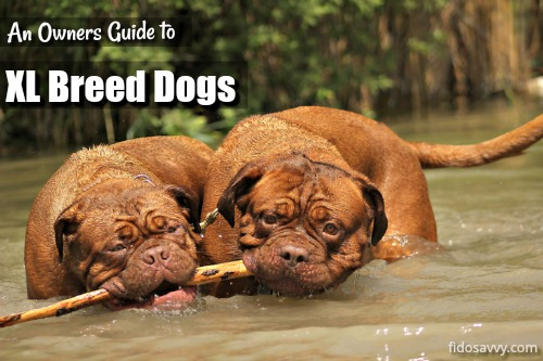 Extra Large Breed Dogs An Owners Guide To The Big Uns