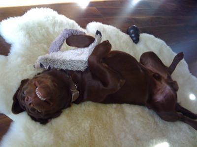 chocolate labrador Achille