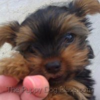 Tiny Yorkie puppy Addiyso