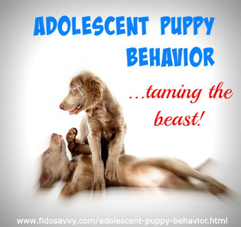 About adolescent puppy behavior