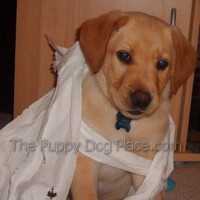 Yellow lab puppy Alfie