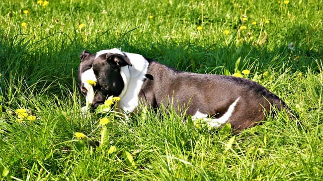 American Bulldog lying in the grass