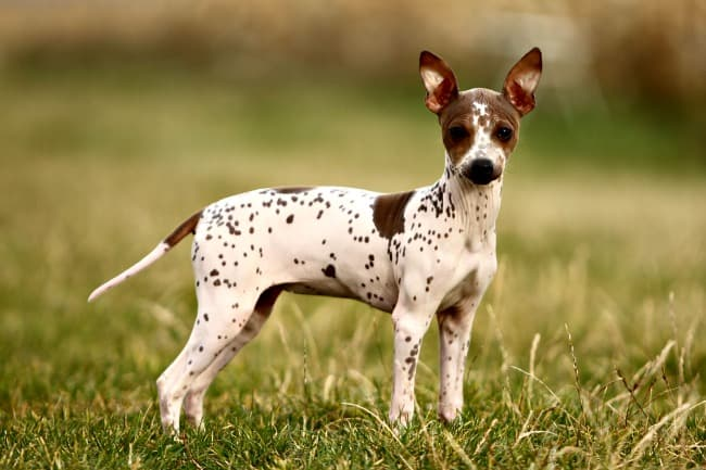 American Hairless Terrier standing on grass looking at camera