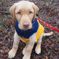 yellow labrador retriever pup Apach