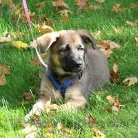 sable german shepherd puppy Aquila
