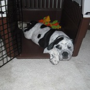 Our Olde English Bulldogge relaxing in his crate
