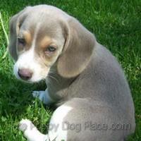 Asher - silver Beagle