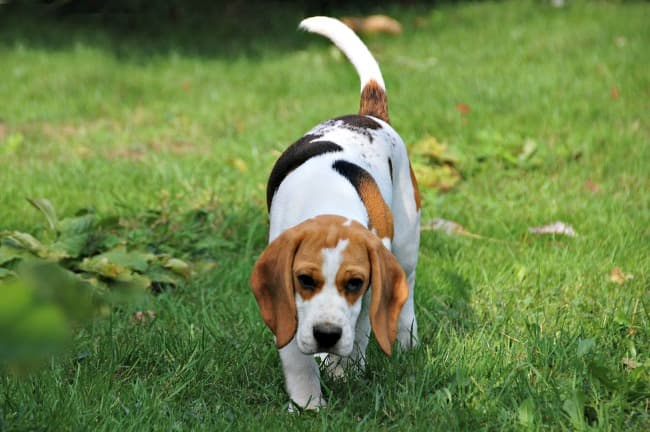 Beagle sniffing through the grass