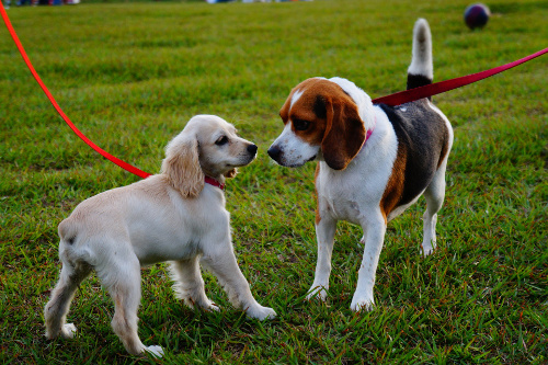 Beagle and Spaniel pups meeting in park