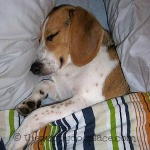 Sleepy Beaglepuppy
