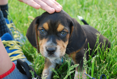 Beagle pup with kids