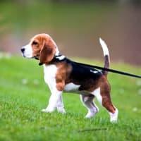 Beagle puppy on a leash