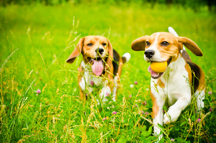 Beagle pups running