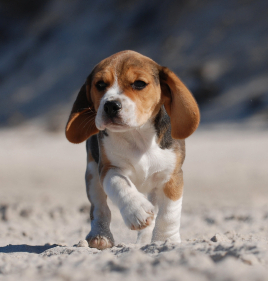 Beagle puppy in the sand