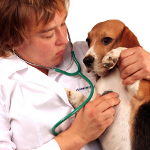 veterinarian examining beagle pup