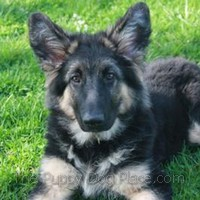 Bellatrix - German Shepherd puppy with plush coat
