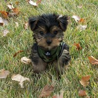 Yorkshire Terrier puppy Benni