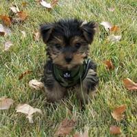 Yorkshire Terrier puppy Benni
