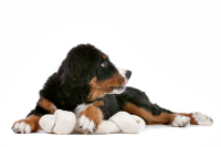 bernese mountain dog puppy with a bon