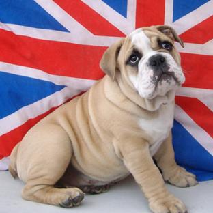 British Bulldogs Dogs Name