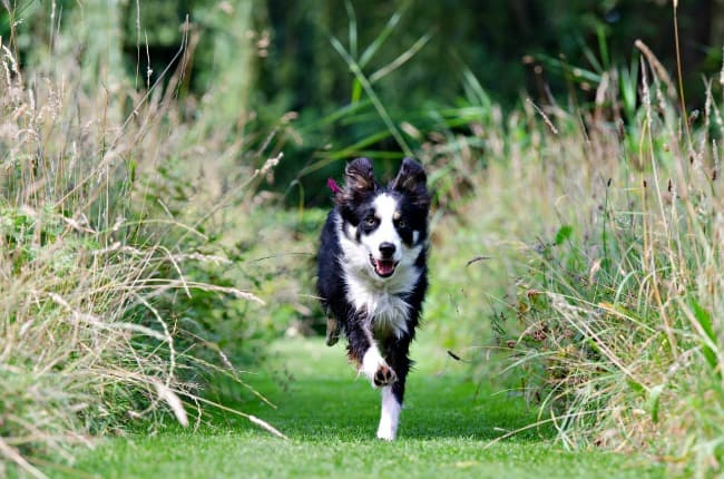 Border Collie running down between borders of long grass