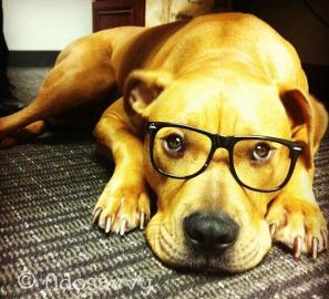 Adult Pitbull wearing glasses