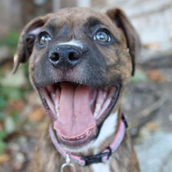 Boxer-mix puppy smiling happily
