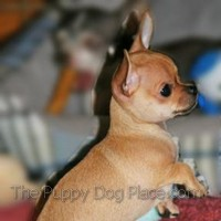 Chihuahua puppy Brownie Bear
