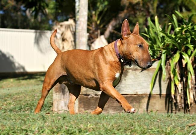 Bull Terrier walking through his yard