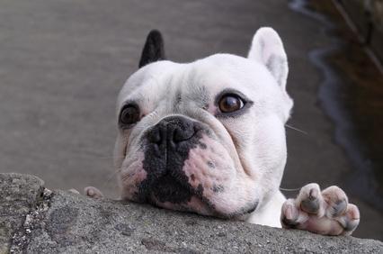 Bulldog playing peek a boo