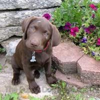 chocolate lab puppy Charle