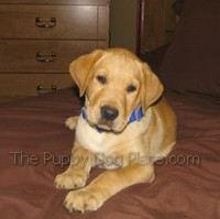 yellow lab puppy Chase