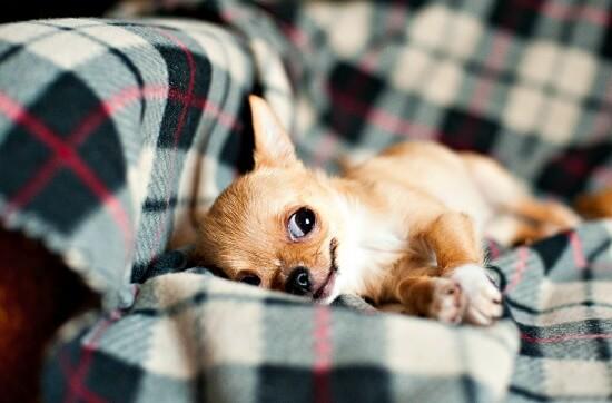 Cheeky Chihuahua puppy