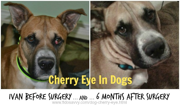 Dog with cherry eye. Before and after surgery.