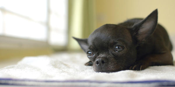 Black Chihuahua deep in thought