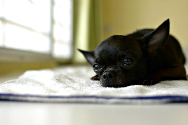 Black Chihuahua lying on blanket and thinking