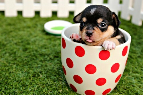 Chihuahua puppy in a polka dot cup