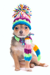 chihuahua puppy wearing winter outfi