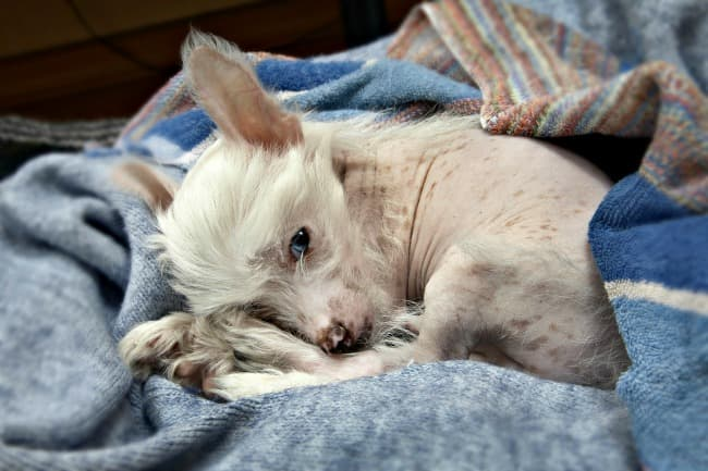 Chinese Crested puppy on blanket
