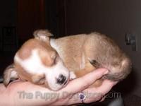 Chloe Chihuahua pupp