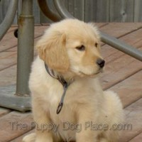 Golden puppy Chloe